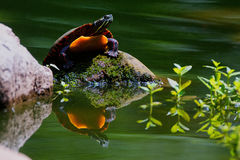 Turtle Reflection Pool Royalty Free Stock Image