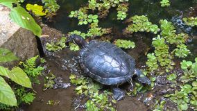 Turtle Relaxing in Pond stock footage