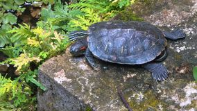 Turtle relaxing in pond stock video footage