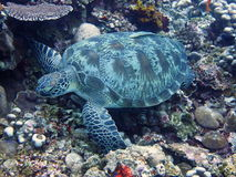 Turtle with remora on shell Royalty Free Stock Photography