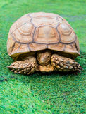 Turtle, reptiles animal Royalty Free Stock Images