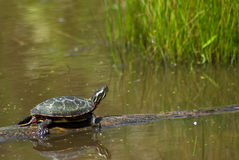 Turtle at rest Royalty Free Stock Photo
