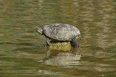 Turtle rest on rock Stock Images