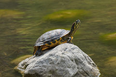Turtle rest on rock at sun Royalty Free Stock Photo