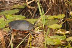 Turtle resting Stock Photos
