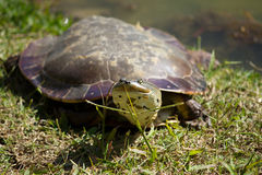 Turtle resting Royalty Free Stock Photography