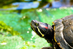 Turtle resting Stock Images