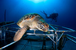 Turtle resting on an artificial reef. Mabul, Borneo (Malaysia). Large green Sea Turtle resting on an artificial coral reef royalty free stock image