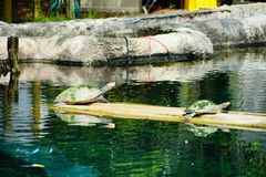 Turtle is resting. In clear blue water at a local aquarium, taken in Florida Royalty Free Stock Images