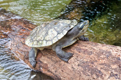Turtle resting on a log Royalty Free Stock Photo