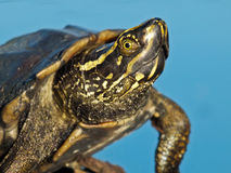 A turtle resting on the rock. In the small pond Stock Images