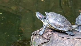 Turtle resting on a rock. In the middle of water stock video