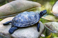 The turtle resting on the stones in the water. Turtle is a symbol of wisdom_. The turtle resting on the stones in the water. Turtle is a symbol of wisdom stock photography
