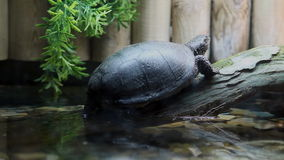 Turtle resting in a tree, above the water in captivity in zoo. stock video footage