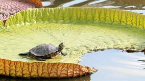 Turtle resting on a waterlily stock footage