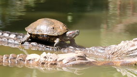 Turtle ride on crocodile back. HD clip stock footage