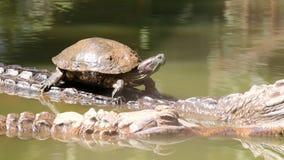 Turtle ride on crocodile back stock footage