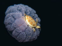 A Turtle riding on a jellyfish Stock Photo
