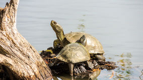 Turtle on the river Bank in spring Royalty Free Stock Photography