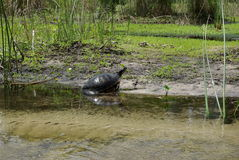 Turtle on riverbank. A view of a large turtle leaving the water and crawling onto the riverbank in a Florida state park royalty free stock images