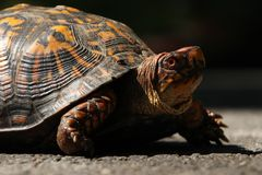 Turtle on Road. Close up of a turtle crossing a road at Gettysburg Battlefield in Pennsylvania, United States Stock Photography