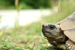 Turtle beside the road. In Greece royalty free stock photo