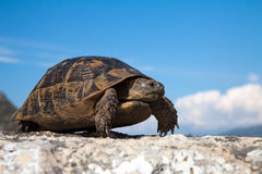 Turtle on the road. Land turtle on the old road in Turkey Stock Photography