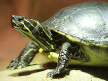 Turtle on a Rock Stock Image