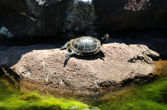 Turtle on a Rock Royalty Free Stock Photos