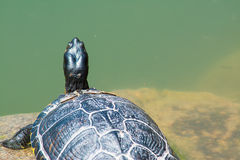 Turtle on the rock Stock Photo