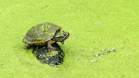 Turtle on rock in bog. stock video footage