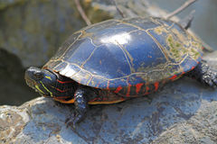 Turtle on Rock. A large turtle on rock in spring sunny day Royalty Free Stock Photos
