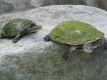 Turtle rock. Pair of mossy turtles on rock Royalty Free Stock Photo