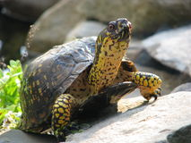 Turtle On Rock Royalty Free Stock Photography