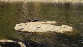 Turtle on a rock. Turtle on a rock in a pond in the afternoon stock video footage
