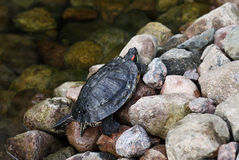 Turtle on rocks royalty free stock photography
