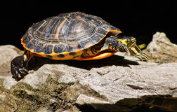 Turtle on rocks Stock Photography