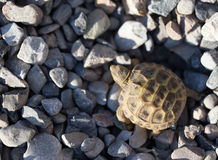 Turtle on rocks in nature Royalty Free Stock Photos