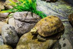 Turtle on the rocks Royalty Free Stock Photos
