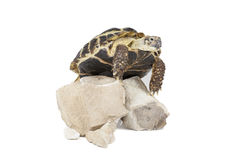 Turtle on the rocks Stock Photography