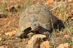Turtle on the rocky and sandy desert. Soaking up the sun. Royalty Free Stock Photos
