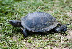 Turtle in rush Royalty Free Stock Photo