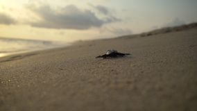 Turtle sanctuary. Newborn turtles run on seaside , close-up turtle, turtle  sanctuary hatchery located on the beach stock footage