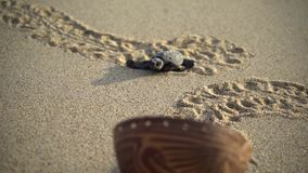 Turtle sanctuary. Newborn turtle walking on sand, close-up turtle and trail on sand,  turtle  sanctuary hatchery located on the beach stock footage