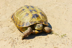Turtle on sand Stock Photography