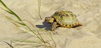 Turtle on a sand. Stock Image
