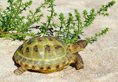 Turtle on the sand. Stock Photos