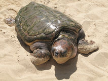 Turtle in the sand. Brazil. Salvador de Bahia Royalty Free Stock Images