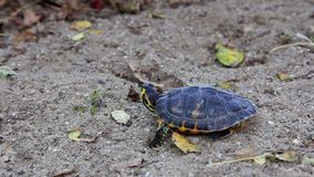 Turtle on sand stock footage