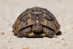 turtle on sand, testudo hermanni Stock Photography